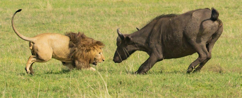 deux animaux se battent pour gagner la vente